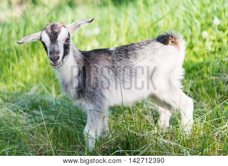 goat grazing small, farming in the meadow