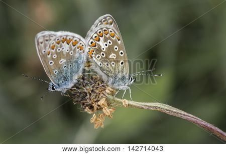 two silver-studded blue butterflies (Plebejus argus) mating