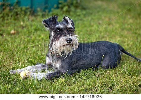 adorable miniature schnauzer lying down outdoor on a grass