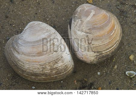 Two clams ready for harvest on a coastline near Bethany Beach Delaware