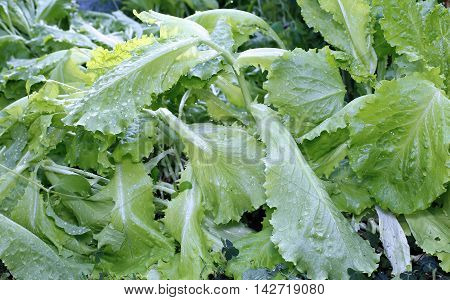 Growing Lettuce salad in the garden with dew drops