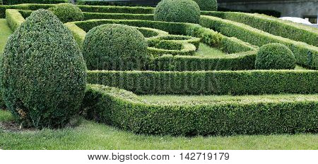 Green labyrinth of trimmed boxwood bushes in the park