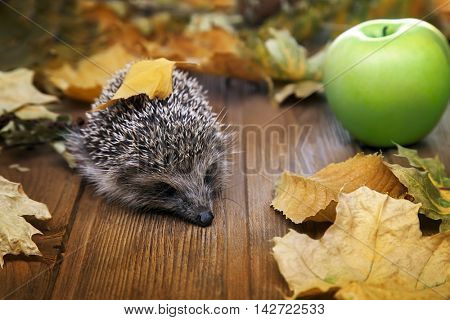 Young hedgehog and apple in autumn leaves on the wooden floor