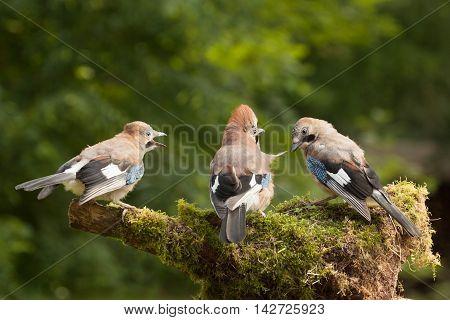 Jay bird family of three close up feeding on a moss covered log