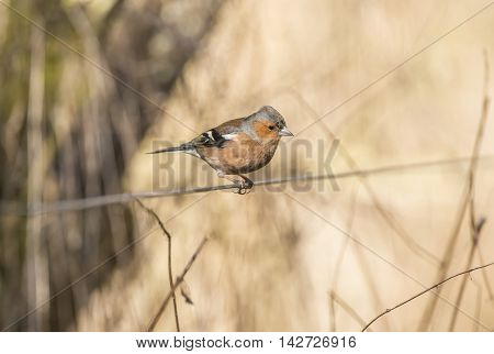 Chaffinch Perched On A Wire In A Forest