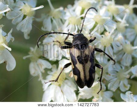 A Judolia instabilis flower beetle on Cow Parsnip flowers