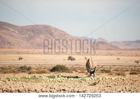 Oryx In Namib Desert
