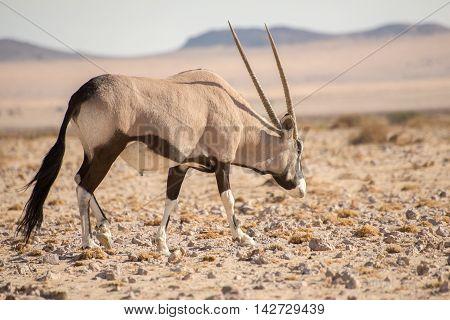 Oryx Walking Along In Namib Desert.