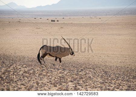 Lone Oryx In Desert Landscape.