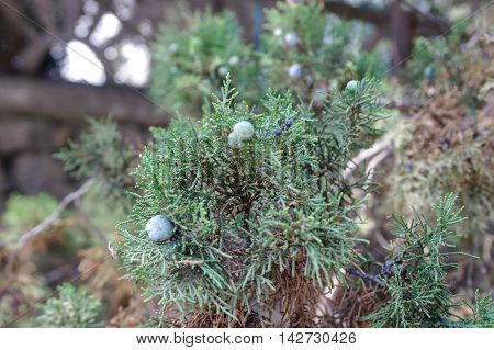 immature seeds of juniper on a branch.