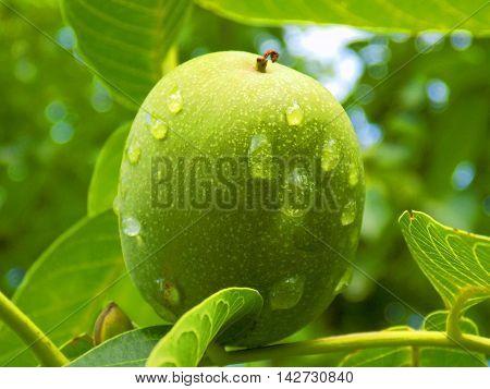 Rain drops on immature walnut after rain