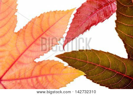 Various colorful autumn leaves isolated on white