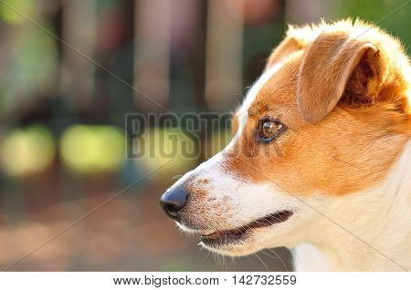 A beautiful attentive Jack Russel pup in a garden