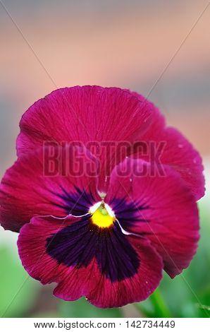 A  Purple single pansy in a garden