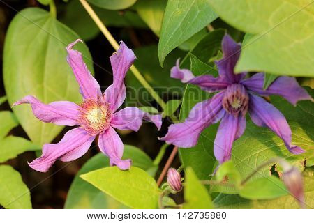 Clematis flower on a background of juicy green foliage