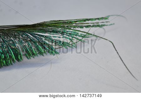 A broken peacock tail/train feather on a white paper background.