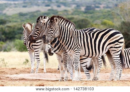 Do Not Look At The Camera - Burchell's Zebra