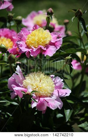Yellow And Pink Peony