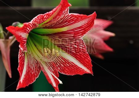A red and white Amaryllis in a garden