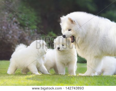 Samoyed dog. Dog mother with puppies are shining in light low sun.