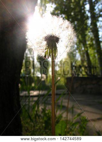 The blossoming dandelion. The ripened dandelion at sunset.  Цветущий одуванчик. Созревший одуванчик на закате.