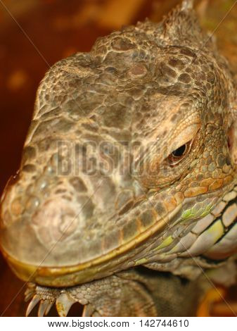 Portrait of an iguana ordinary. Head of an iguana Портрет игуаны обыкновенной.