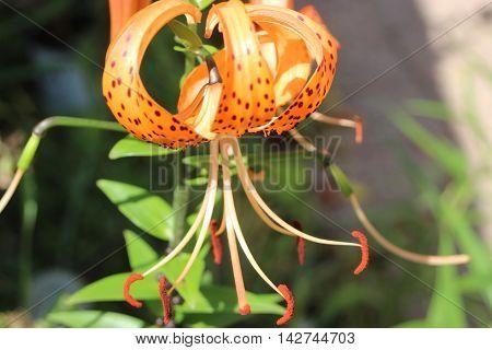 Orange tiger lily flower black spots front view