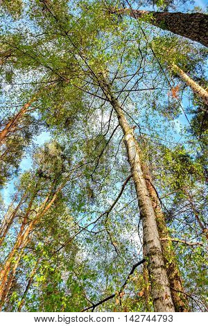 Bottom view of tall old trees i mixed deciduous-coniferous forest with birch in the foreground Eastern Europe Ukraine