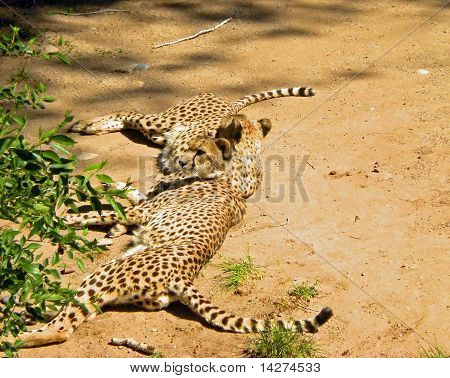 Pair of Resting Cheetahs