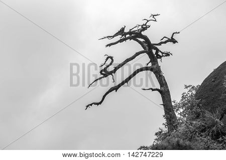 Single dead tree on foggy san qing Mountain in Wuyuan China black and white