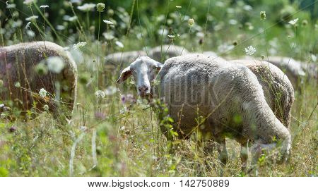 Flock of Sheeps (selective focus) on a meadow at a hot summer day