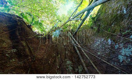Bottom view of giant tree in the Ecuadorian Amazon
