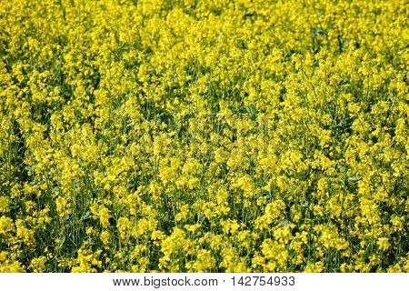yellow rape flowers field, closeup view