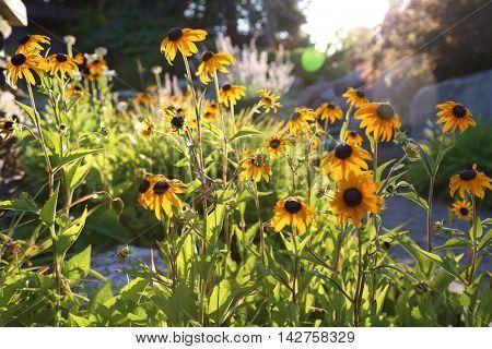Black Eyed Susan Daisy's back light by the morning sun