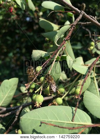 Two bees on apple branches during swarming