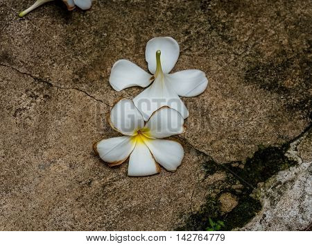 White PLUMERIA flower, Concept: Feeling Sad and Hopeful
