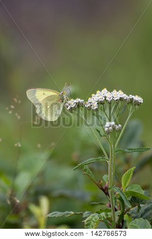 light green butterfly on white flowers with a blurred background