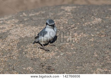 fluffy nuthatch sitting on a brown stone