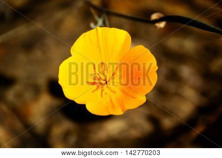Close Up Yellow Boom Poppy Flower. Poppy is California State Flower.