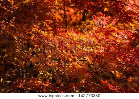 Autumn colors with maple leaves in Japan