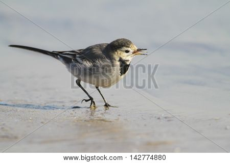 White Wagtail bird Motacilla alba singing on the shore