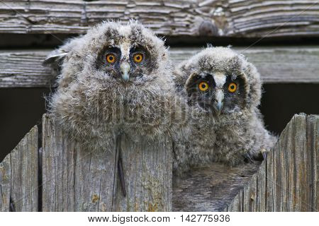Two young long eared owls Asio otus resting