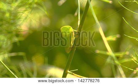 Close-up photograph of a flatidae planthopper (Hemiptera: Flatidae).