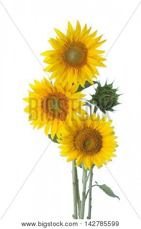Three sunflowers isolated on a white background
