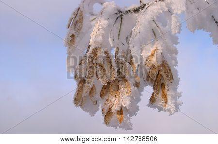Maple Seeds
