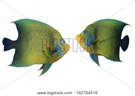 Tropical fish isolated: Koran Angelfish (Pomacanthus semicirculatus) on white background