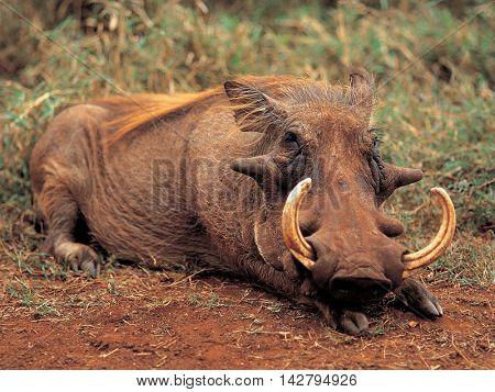 Wild boar sleeping nap