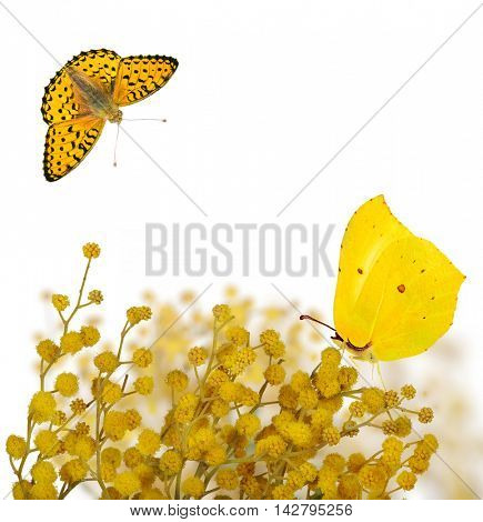 yellow mimosa branches and two butterflies  isolated on white background