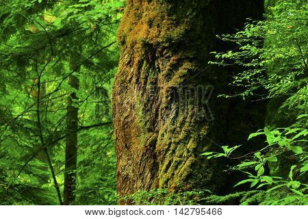 a picture of an exterior Pacific Northwest forest and old growth  Big leaf maple tree