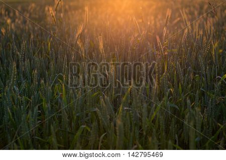 Agricultural Industry Background. Wheat Germ In The Sun